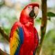 Scarlett Macaw