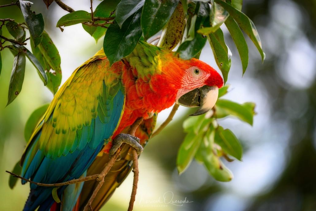 Hybrid Scarlett Macaw